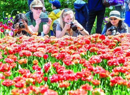 加拿大郁金香节 花海拍照留下美丽回忆