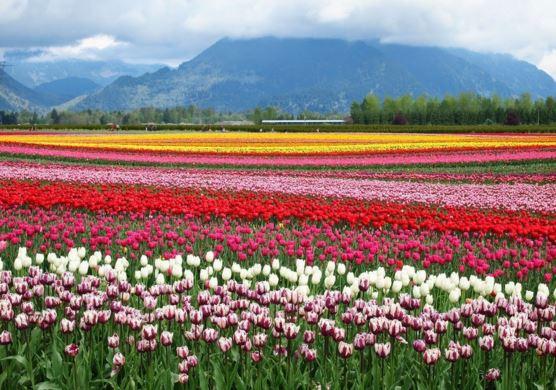 温哥华最美四月天 盘点周边赏郁金香好去处