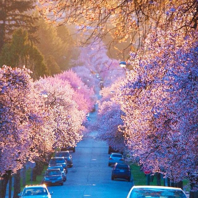 45890d56a1e01d02fd0beb36a168246d--cherry-blossom-season-cherry-blossom-tree.jpg