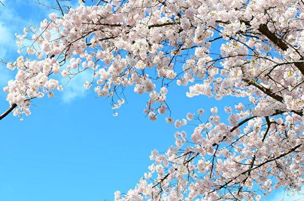 在蓝天白云下,温哥华的樱花盛开,犹如浪漫仙境。(iStock)