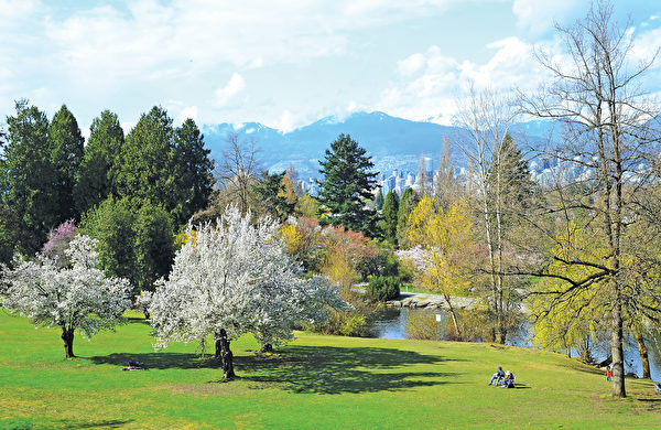 每年的3、4月份,是温哥华女皇公园樱花盛开的时节。(iStock)