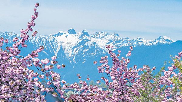 温哥华樱花缤纷灿烂 美的让人窒息