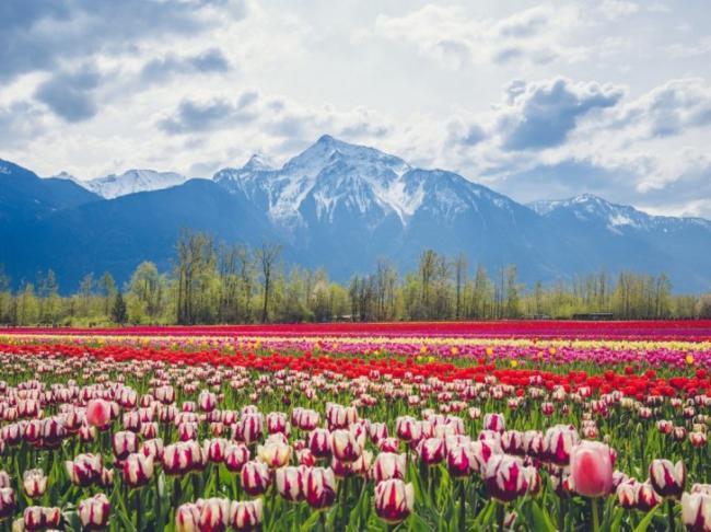 4月6日-4月12日:郁金香樱花开始争相斗艳