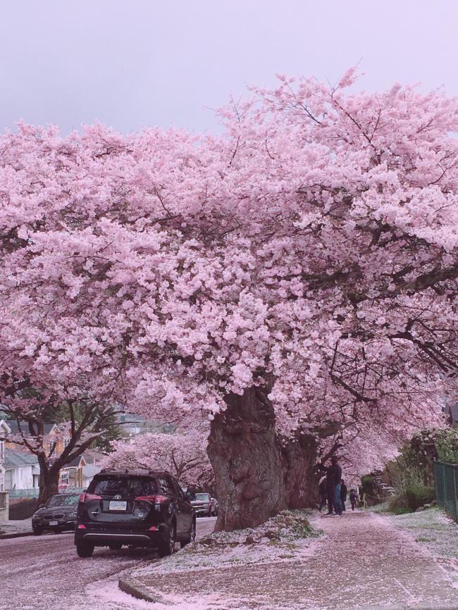 温哥华:人间四月樱花满,与君一醉一陶然