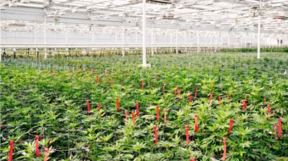 加拿大大麻公司一季度赚利润 1640万