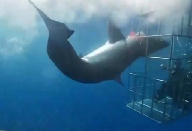 心痛!大白鲨头被鲨笼卡住 惨死在观光客眼前