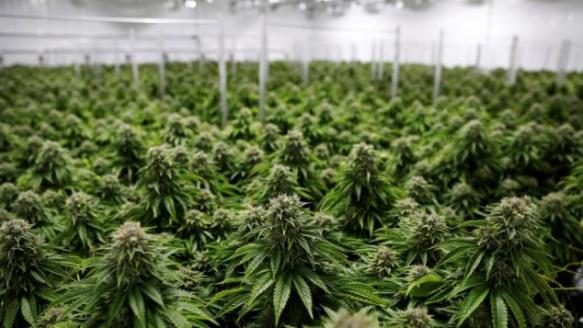 加拿大实行大麻合法化在国际上的负面影响