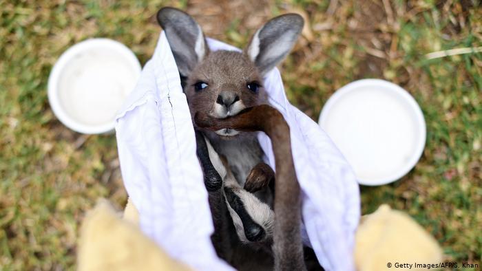 BdTD Australien Waldbrnde | gerettetes Knguruh (Getty Images/AFP/S. Khan)