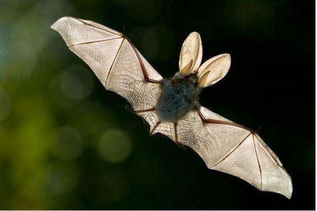 病毒擴散怪蝙蝠?特殊免疫系統,自然進化的奇跡