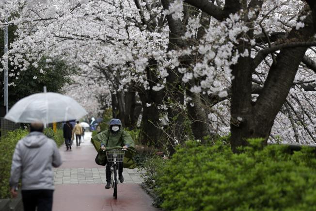 日本,早春櫻花已開,路上民眾戴口罩騎車。(美聯社)