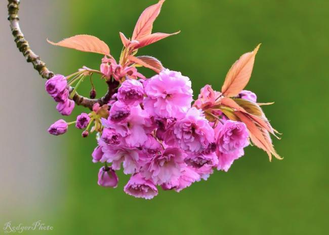 最美人间四月温哥华:三生有幸,四万樱花