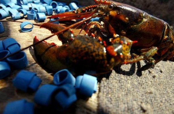 凉了!加国龙虾出口中国被要求签责任声明