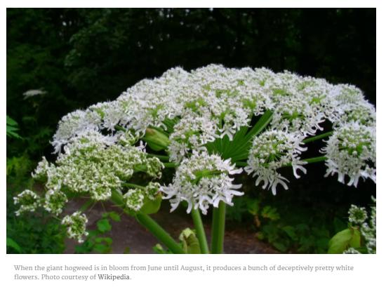 小心!加拿大最毒的植物開花了 路邊常見