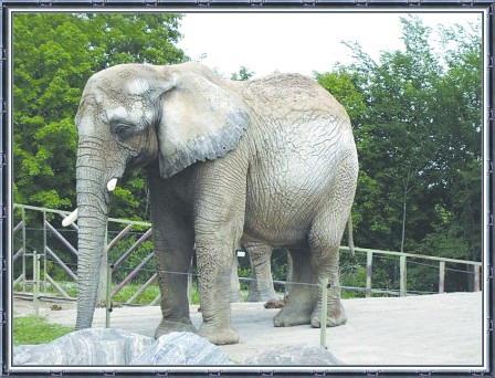 多伦多动物园已死4头大象