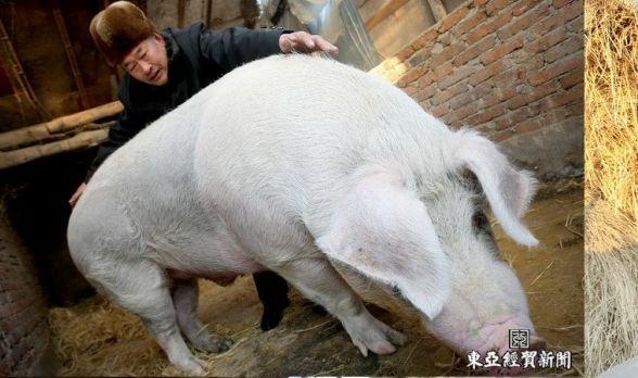猪吃自己的孩子