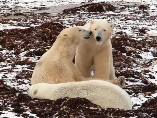 """加拿大有个""""北极熊监狱"""" 大摇大摆走观察人类"""