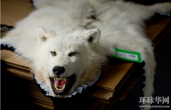 克莱恩是本国动物标本制造业的元老.