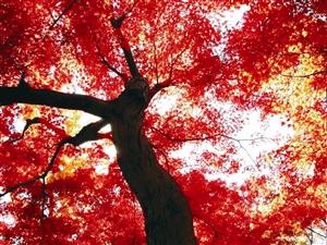 """(组图)加拿大之秋 一转身便是万种""""枫""""情"""