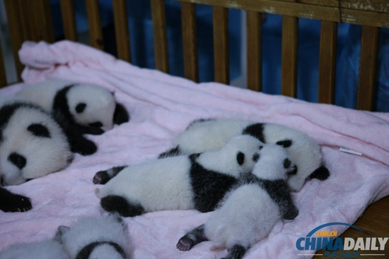 (图文)萌!成都13年新生大熊猫宝宝集体亮相