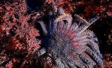 温哥华不少海域曾繁衍大量海星,但最近大量死亡.图为向日葵海星.