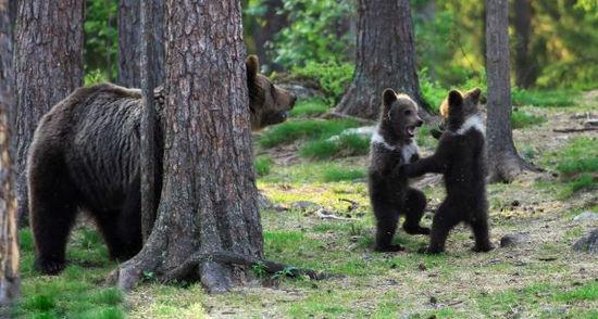 """(组图)芬兰3只小熊手拉手跳""""圆圈舞"""""""