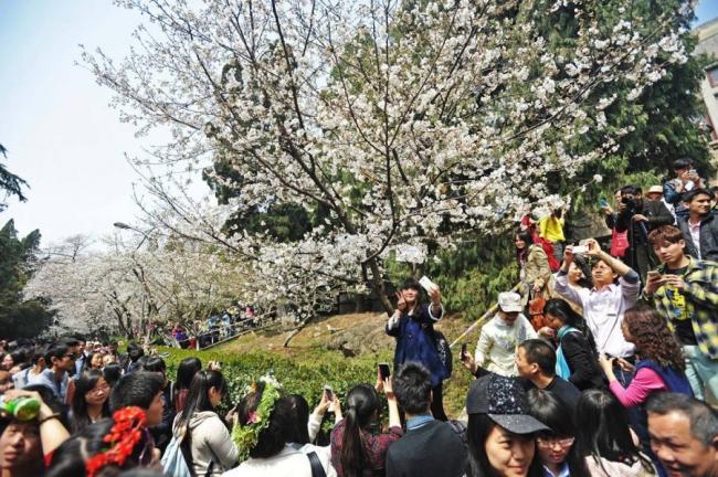 十万游客涌入武汉大学校园赏樱