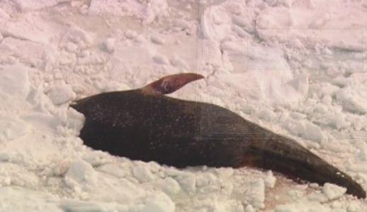 加拿大海域发现9头死亡的蓝鲸