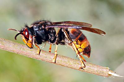 马蜂的身体结构图