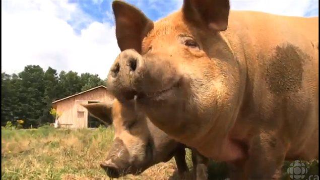 (组图)快乐的猪 肉才好吃