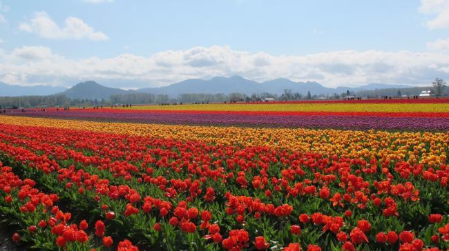 整个春天都在那片郁金香花海里 如此春景谁不爱?