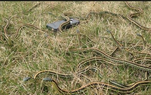 捕获200蛇 冬眠后被放生