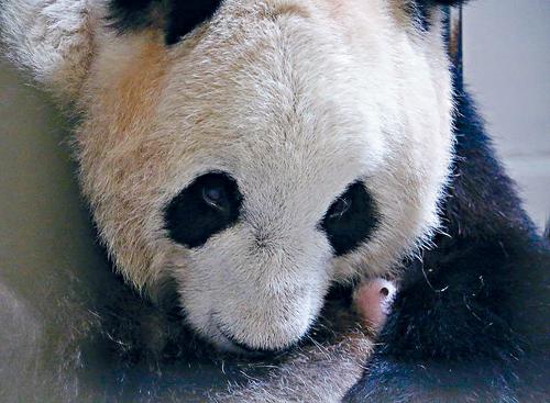 多伦多小熊猫长这样