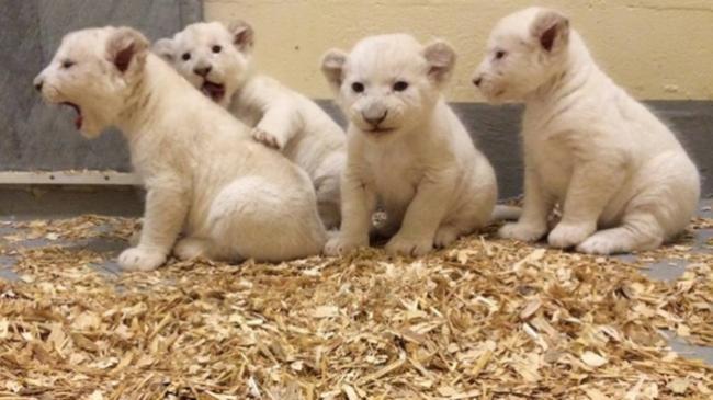 多伦多动物园萌物 四只新生小白狮