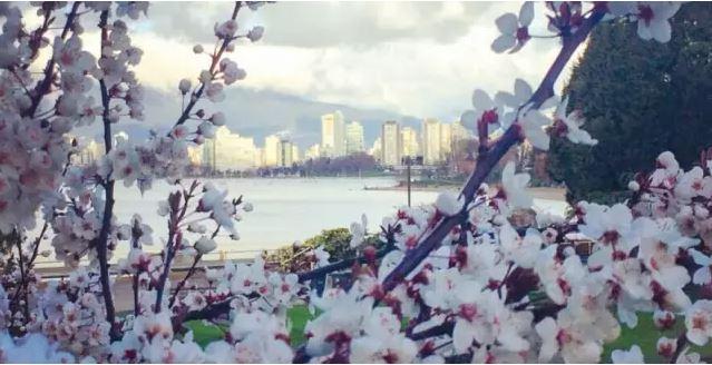 美翻了!二月的尊宝娱乐樱花已是美如人间仙境