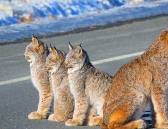 """加拿大可爱""""路霸""""山猫 悠闲晒太阳不怕车"""