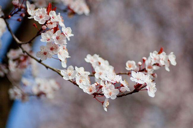 春暖花开,满城尽是樱花飞