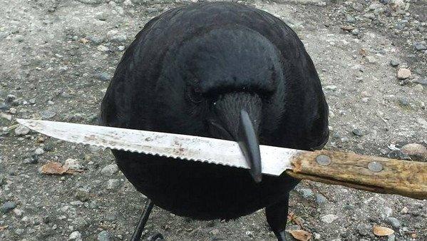 温哥华著名乌鸦Canuck 再次