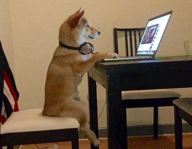 柴犬可爱电脑桌面