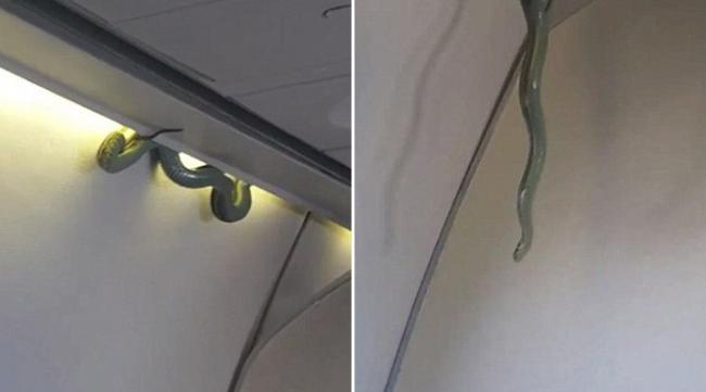 """这不是电影,真的飞机上有蛇!墨西哥一架飞机在起飞后,有乘客发现上方的行李置物柜出现一条大蛇,吓坏所有乘客。飞机紧急降落后,动保人员立刻将蛇带走,幸好没造成人员受伤。   根据""""每日邮报""""报导,墨西哥国际航空(AeroMexico)6日一架由墨西哥北部城市托雷翁(Torreon)飞往首都墨西哥市的班机,在起飞后,一名乘客发现座位上方的置物柜有一条长约1."""