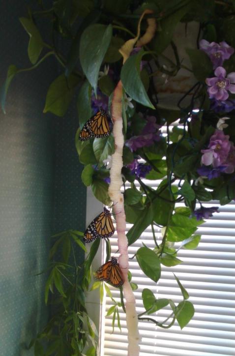 我在加国与孩子们养蝴蝶