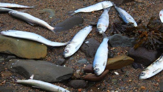 死鱼被冲上新省海滩  死因成谜待解