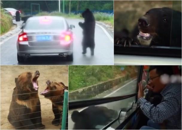 又见作死中国游客!野生动物园内开窗逗黑熊