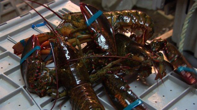 偷龍蝦的小偷又在新斯科舍省活動 漁民損失慘重