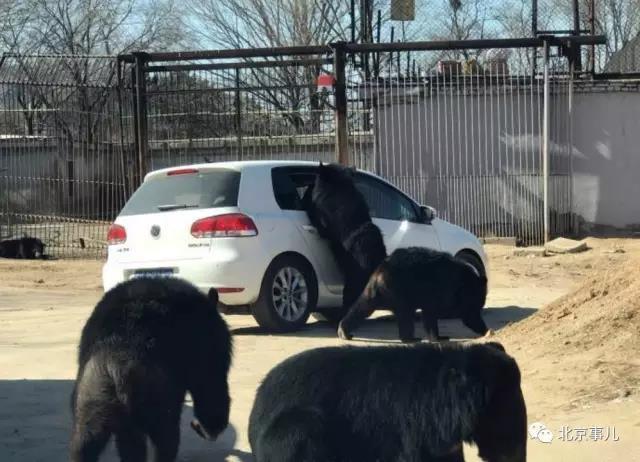 北京八達嶺野生動物園又出狀況 黑熊圍堵開窗游客