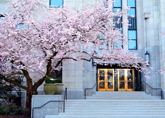 唤醒春天 樱花就要轰轰烈烈地占领温哥华…