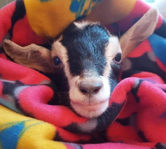 小羊用身体压着杀大羊的刀 流着泪让羊汤店关门