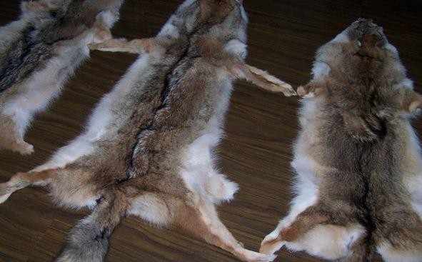 加拿大中国留学生带狼皮狐狸皮回国被海关查获