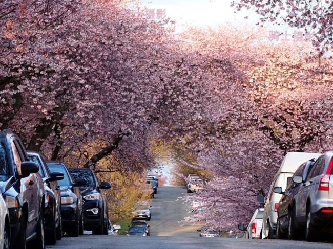 在优发国际,寻觅那条梦幻神迷的樱花街(美图为证)