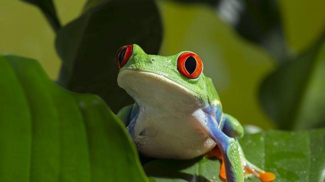 Red-eyed-Tree-Frog.jpg