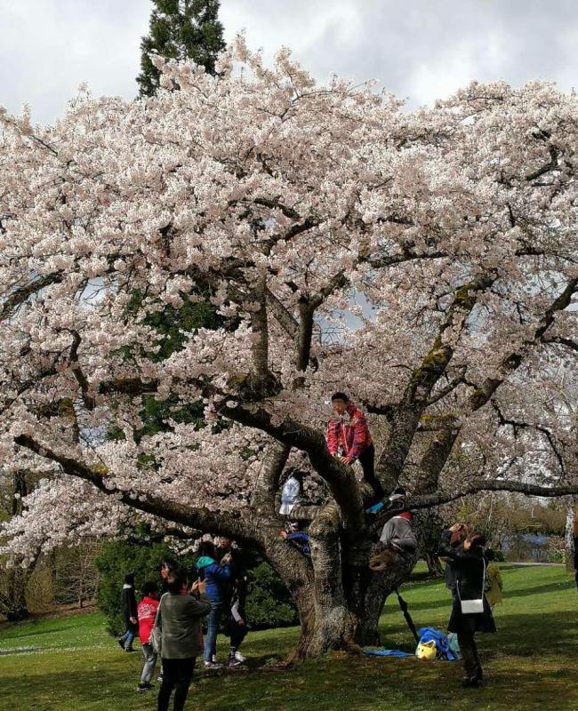 丢脸!优发国际有华人爬女皇公园樱花树拍照